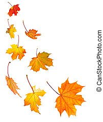 Background of fall maple leaves isolated on white