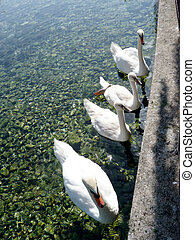 Family of swans