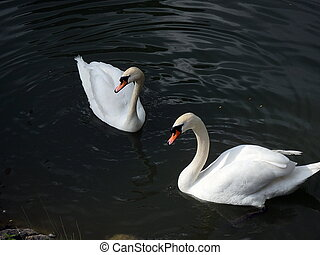 Family of swans,