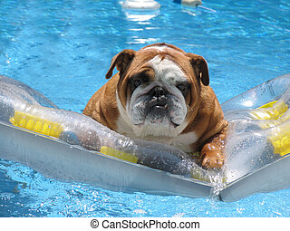 Bull Dog with serious expression floating in swimming pool