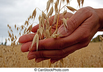Hands are holding and touching ripe grain.