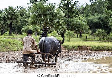 Farmer plowing a field using a buffalo, Thailand