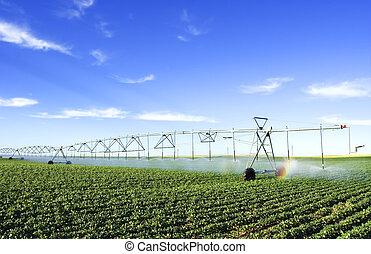 irrigating a potato field