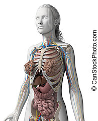 3d rendered illustration of the female anatomy