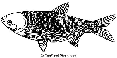 Fish Silver carp