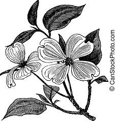 Flowering Dogwood or Cornus florida, vintage engraving. Old engraved illustration of a Flowering Dogwood.