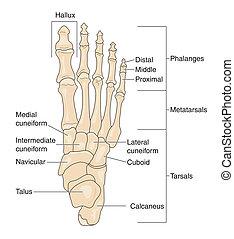Foot bones - labeled