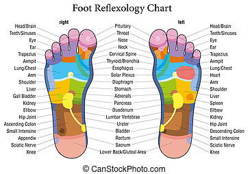 Foot reflexology chart with accurate description of the corresponding internal organs and body parts. Vector illustration over white background.