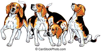 four beagle hounds, hunting dogs, image isolated on white