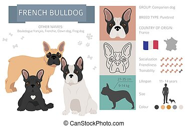 French bulldog dog isolated on white. Characteristic, color varieties, temperament info. Dogs infographic collection