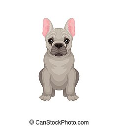 French bulldog sitting isolated on white background. Dog with smooth gray coat, pink ears and shiny eyes. Flat vector design
