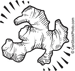 Doodle style fresh ginger root illustration in vector format