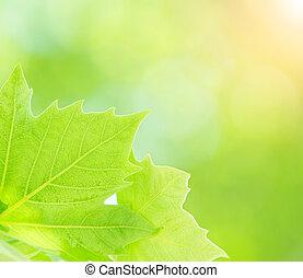 Fresh green tree leaves border on blurry background, closeup of maple leaf, freshness concept, spring season