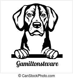Gamiltonstevare - Peeking Dogs - breed face head isolated on white
