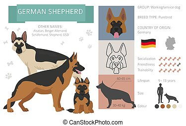 German shepherd dog isolated on white. Characteristic, color varieties, temperament info. Dogs infographic collection