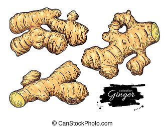 Ginger root vector hand drawn set. Artistic style colorful flavor illustration. Herbal spice. Detox food ingredient.