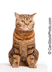ginger striped cat sitting over white background