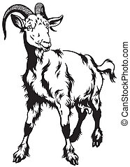 goat black white