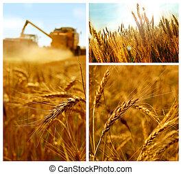 Grain harvest, grain field detail, summer, collage