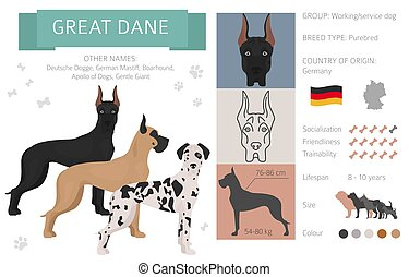 Great dane dog isolated on white. Characteristic, color varieties, temperament info. Dogs infographic collection