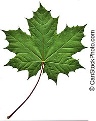 Close-up of a perfect green maple leaf isolated on white background
