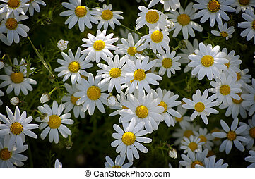 group of chamomile flowers in a rural meadow