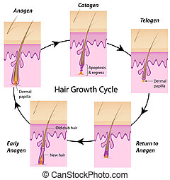 The cycle of hair growth in human with anagen, catagen and telogen phases, explaining the basis of hair loss and hair removal