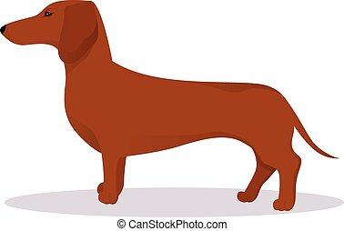 Haired dachshund
