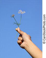 Hand holding Coriander flower