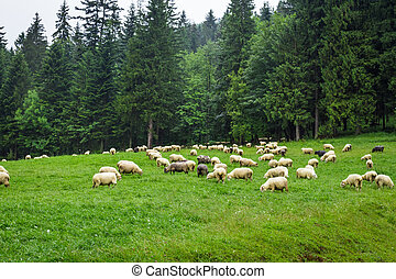 Herd of mountain sheep on the hill