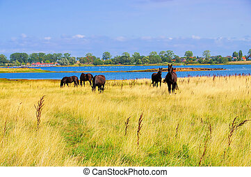 horses in the pasture on the island of Poel in Germany