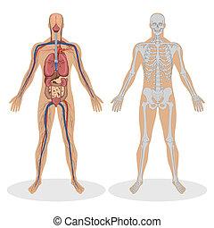 illustration of human anatomy of man on white background