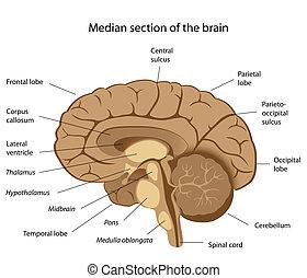 Median section
