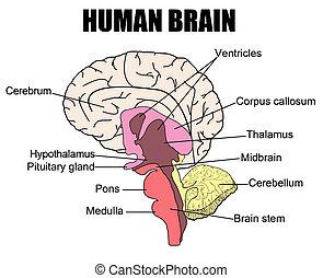 Anatomy of human brain, vector illustration (for basic medical education, for clinics & Schools)