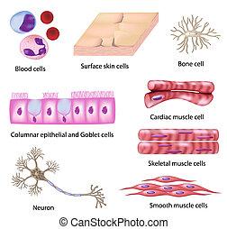 Set of human cells, eps8,