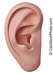 Human ear model - isolated on white background