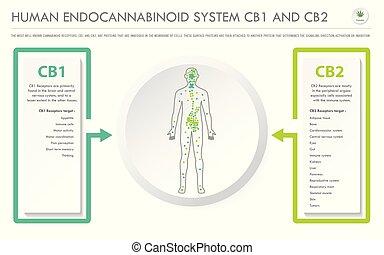 Human Endocannabinoid System CB1 and CB2 horizontal business infographic
