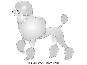 illustration nice poodle insulated on white