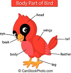 illustration of Diagram showing body part of red cardinal bird