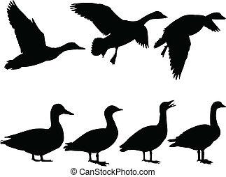illustration of wild duck - vector