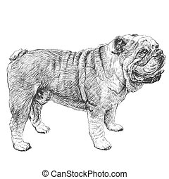 bulldog hand drawn