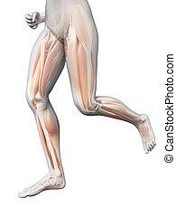 medical 3d illustration - jogging woman - visible leg muscles