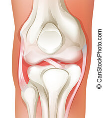 Knee joint of human