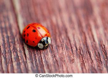 Ladybird on brown wood macro