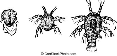 Larva Cyclops, vintage engraved illustration. Natural History of Animals, 1880.