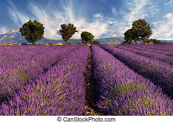 Image shows a lavender field in the region of Provence, southern France, photographed on a windy afternoon