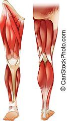 Poster of front and back leg muscle