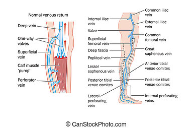 Drawing of the veins of the leg and the calf muscle pump