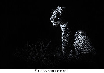 Leopard sitting in darkness hunting nocturnal prey artistic conversion