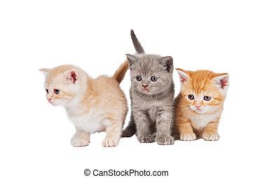 Three sitting (lying) british shorthair kittens cat isolated